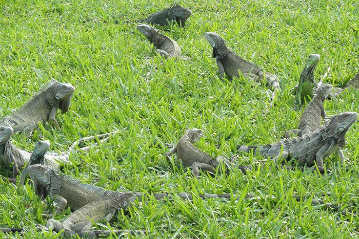 la iguana y la creación de valor compartido 7